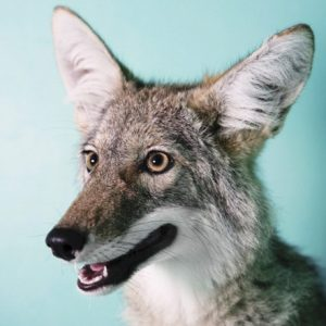 Profile photo of MrCoyote